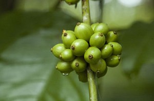 Green Coffee Diet - Green Coffee Beans Seeds