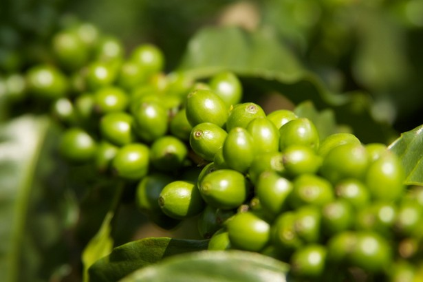 Green Coffee Review - Pure Green Coffee Cherries