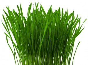 Natural Cure for Fibroids - Weizengras - Wheatgrass