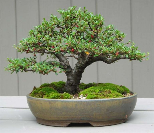 How To Take Care of a Bonsai Tree - Cotoneaster Bonsai Tree