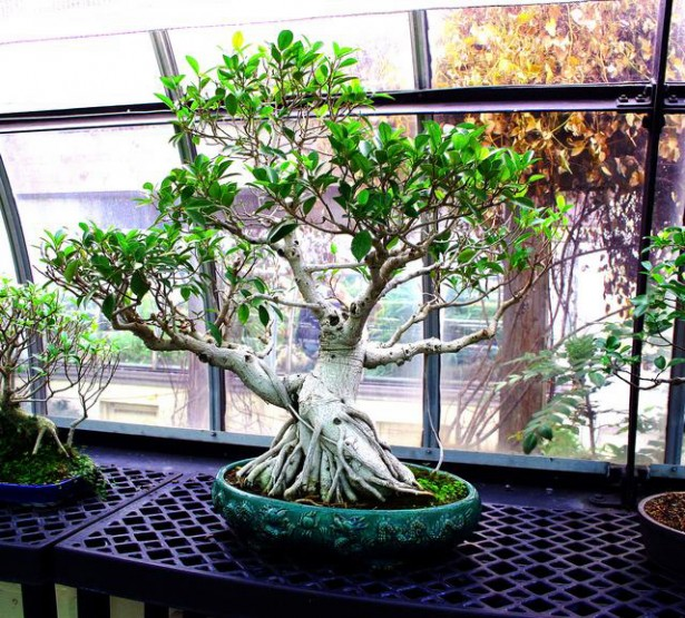 Where to Buy a Bonsai Tree - Ficus Retusa