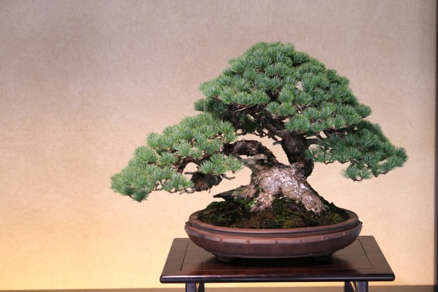 Bonsai Tree for Beginners - Japanese Needle Pine
