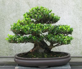 Bonsai Trees for Beginners - Eurya Bonsai