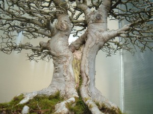 Types of bonsai trees appearance variations for Different kinds of bonsai trees